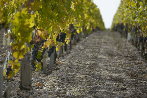 Wine-graves-Bordeaux-Dourthe